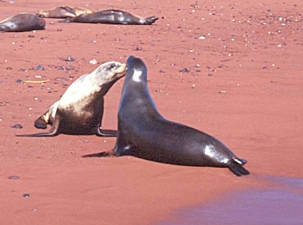 Galapagos - Sea lions
