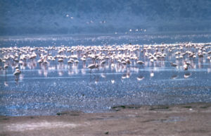 African Safari Tour. Lake Nakuru Flamingos